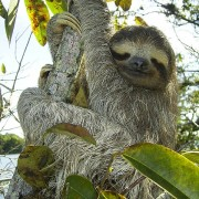 pygmy-sloth-62869_640-180x180